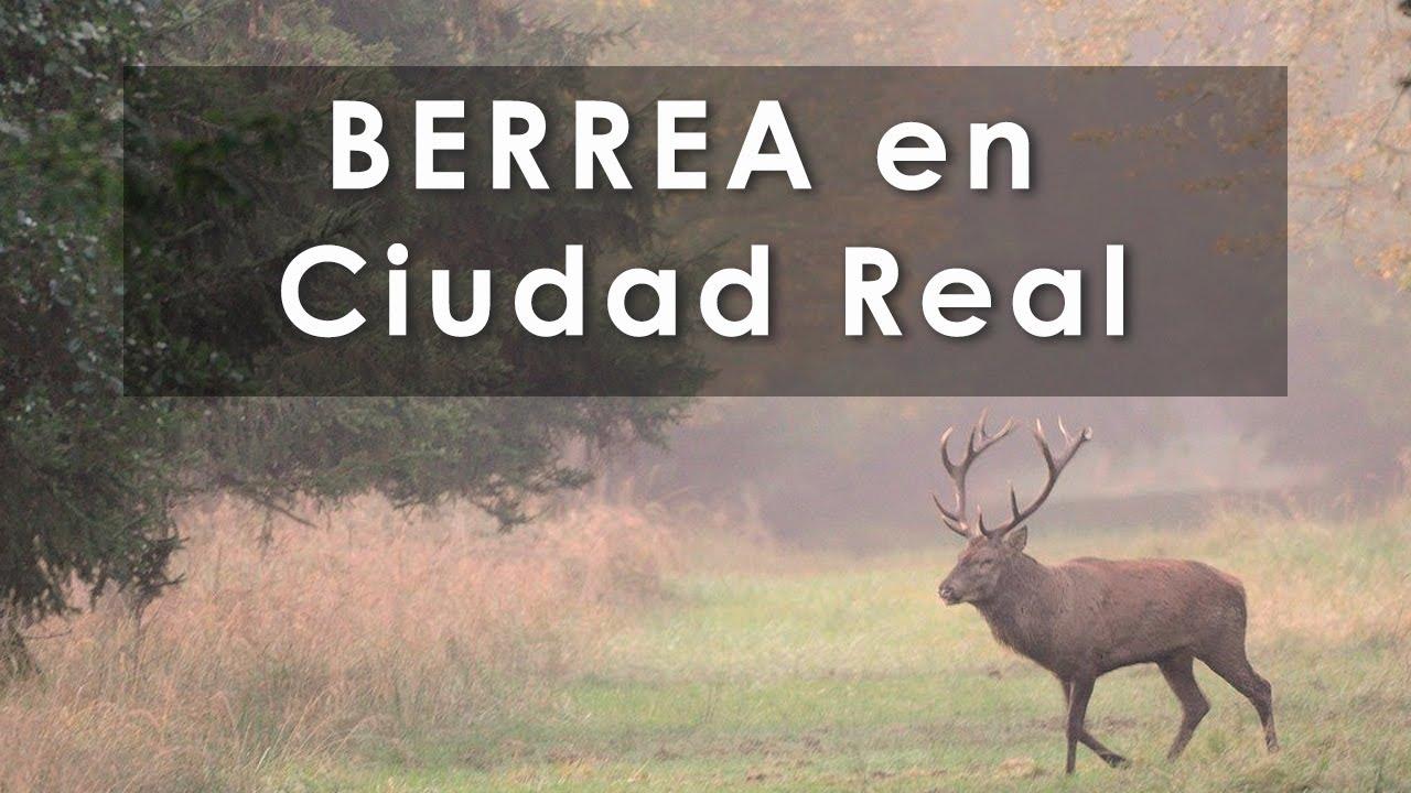Berrea en Ciudad Real 🦌💥💥 (Castilla la Mancha) 🦌  Videos de Caza