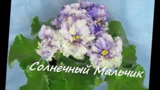 Комнатные  растения Домашний цветок ФИАЛКА  Фото с названиями Часть 1