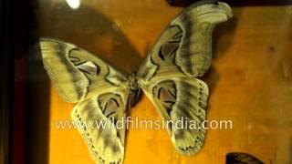 Red-kneed Tarantula, Saturniidae Cocoon and Atlas moths