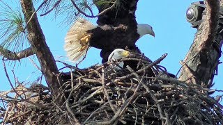 SWFL Eagles_M's Pasture Breakfast~More Sticks & Grasses~Veranda Tug-o-War & Mating 11-14-17 thumbnail