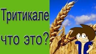 Зерновые корма для птицы. Тритикале что это?