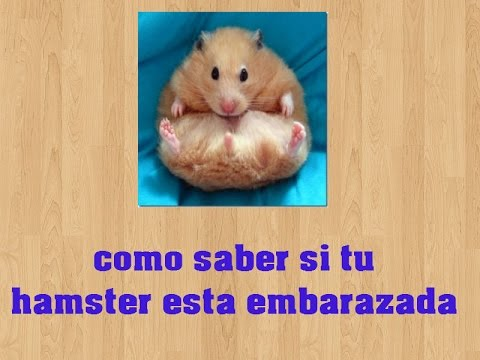 5 se ales para saber si tu hamster esta embarazada youtube for Como saber si es marmol