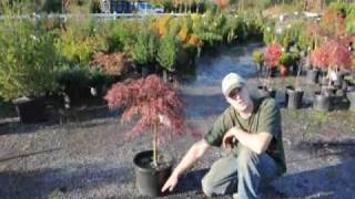 Tending your Crimson Queen Maples in Malvern