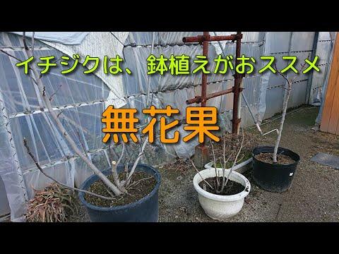 いちじく 鉢植え