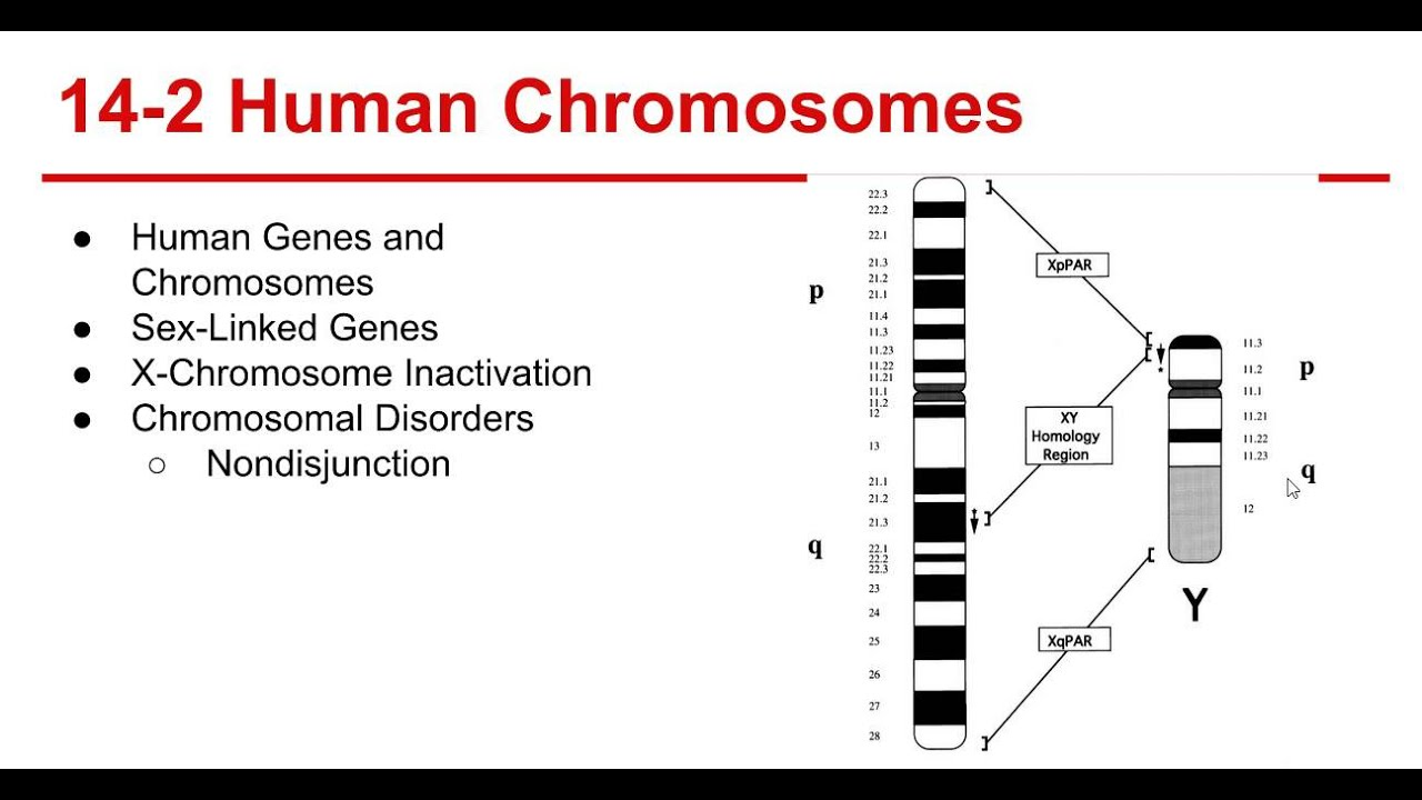 worksheet Section 14 2 Human Chromosomes Worksheet Answers ch 14 the human genome youtube genome