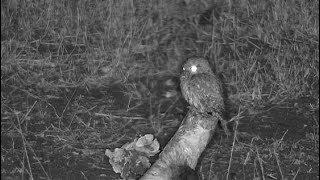 Djuma: Pearl-spotted Owlet on log - 20:10 - 11/12/19