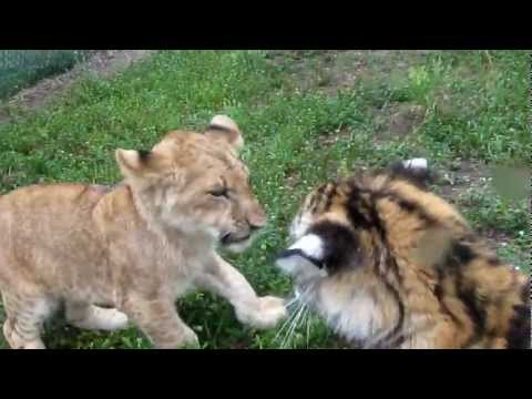 Baby Lion & Tiger playing