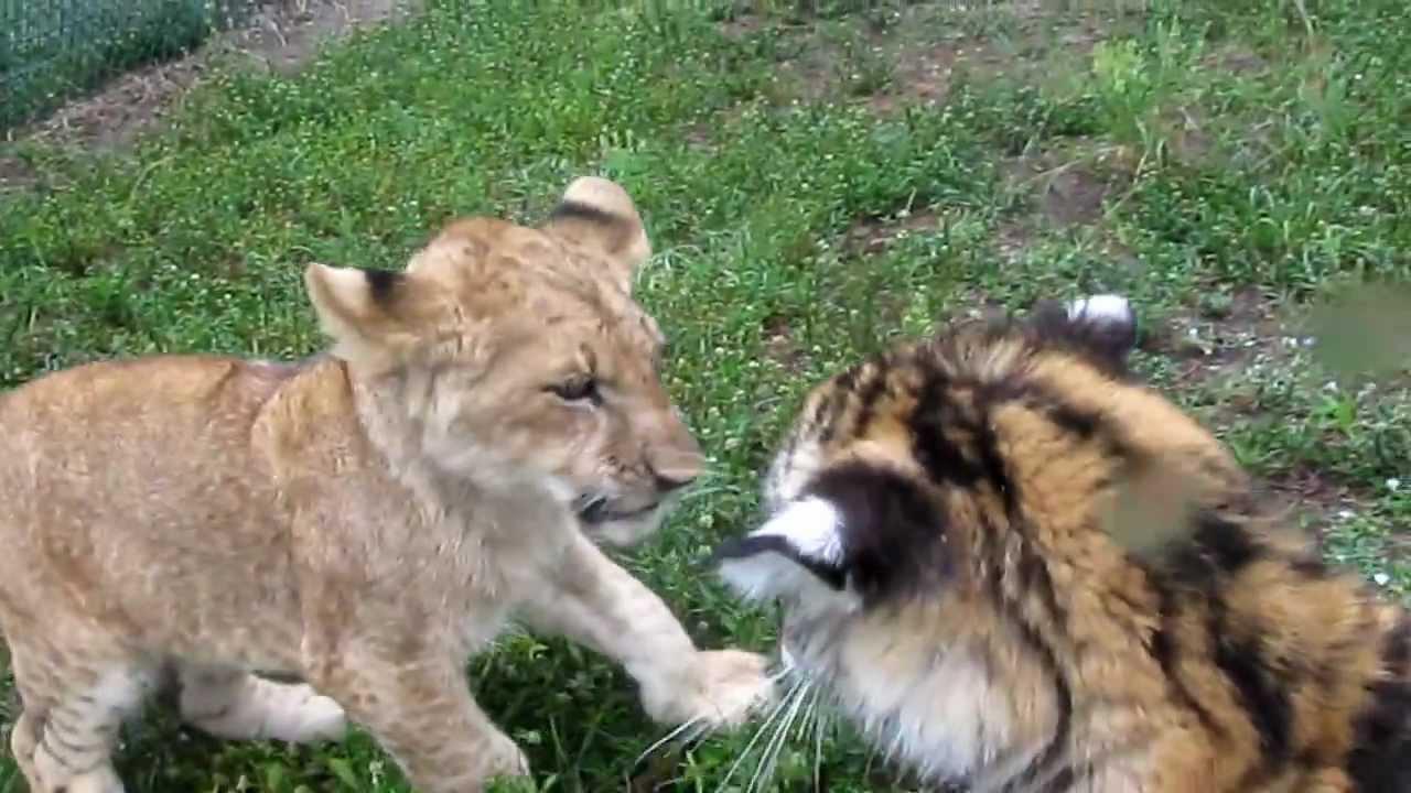 tiger meet lion