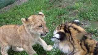 Baby Lion & Tiger playing