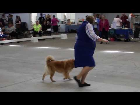 Gemma at Northwest Cluster Dog Show - 5-21-17