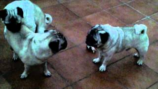 What 3 Pugs Do In  The Night. Nature's Secret In The Video. Part Ii