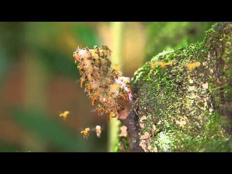 Meliponini - Bees - Yacutinga Lodge (English Version)