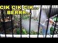 Pancingan Lovebird Cik Cik Berr  Mp3 - Mp4 Download