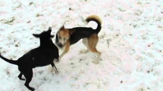 Huskie /german Shepherd Mix Playing With Pitbull / Boxer Mix