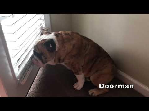 reuben-the-bulldog-hard-working-dog-part-2