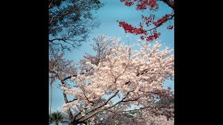 Film Photography Journal: Cherry Blossoms in northern Kyushu, Japan, April 2018