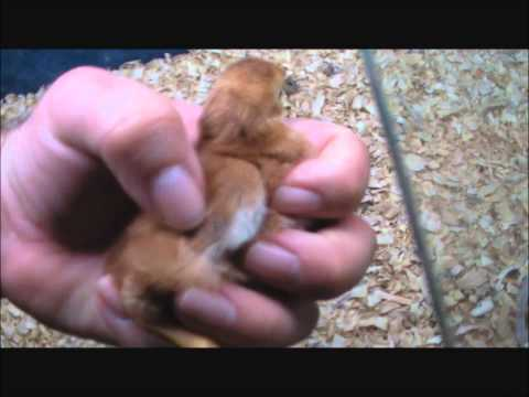 sexing rhode island red  chicks , chickens