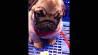Pug Puppy At Petsmart (old Video Of Mingii)