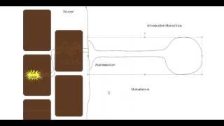 Crashkurs Mikrobiologie - Exkurs 1 zu Zygomycota: Glomeromycota