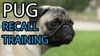 Pug Training - Recall