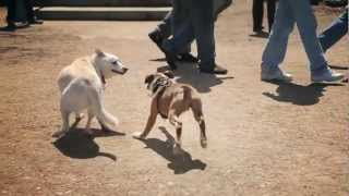 Boxer Plays With Friends | The Daily Puppy