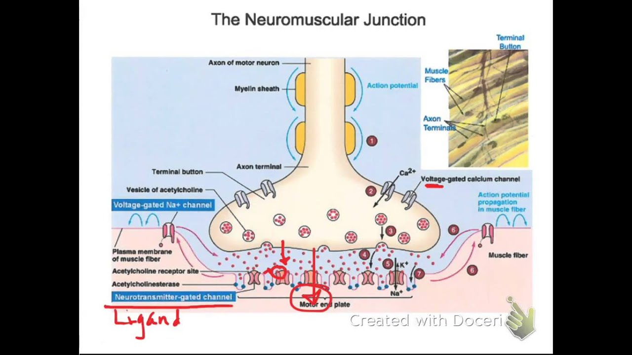 detail the components of a synapse Synaptic transmission is the process whereby one neuron (nerve cell) communicates with other neurons or effectors , such as a muscle cell, at a synapse.
