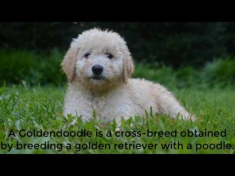 All about of the Golden Doodle Dogs