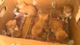 Котята рыжие VID 20170418 144401