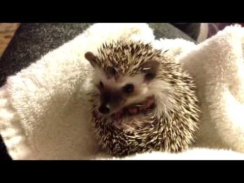 Baby Hedgehog Waking Up (So Cute)