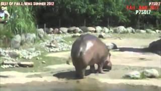 Как какает  бегемот(Смотрите ролик как какает бегемот. Процесс столь необычен, что кругом хохот. Видео приколы про животных..., 2015-03-18T13:17:24.000Z)