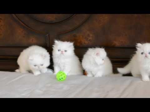Blue Eyed White Persian Kittens 5 Weeks Old
