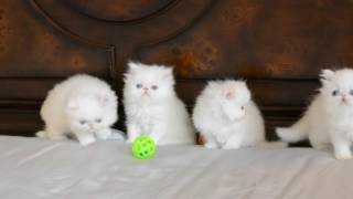 Blue Eyed White Persian Kittens 5 weeks old