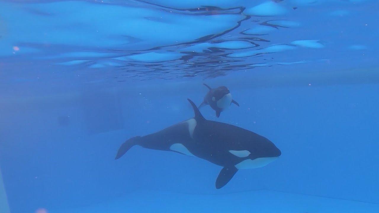 10th Anniversary of the orca Morgan's Rescue
