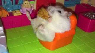 Like a Boss Hamster loves snacking in her couch!
