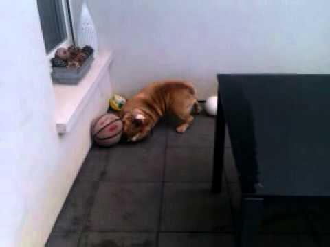 Texas Bulldog anglais joue au ballon