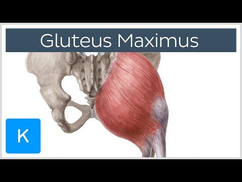 Gluteus Maximus Muscle - Function, Origin & Insertion - Human Anatomy |Kenhub