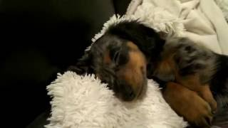 Puppy Life with Turbo Toby (Miniature Dachshund)