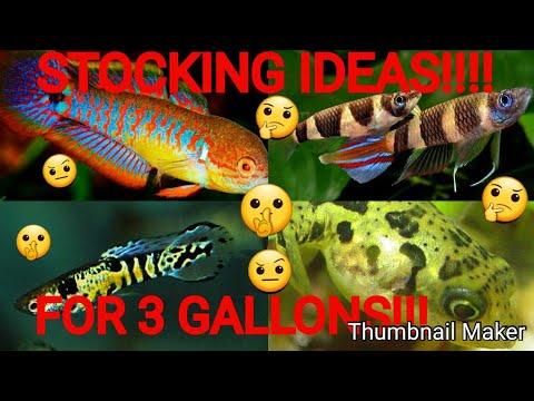 3 GALLON STOCKING IDEAS!!! PEA PUFFER PEACOCK GOBY CARE #FISHFAM!!!!