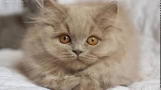 Породы кошек: БРИТАНСКИЙ ХАЙЛЕНДЕР