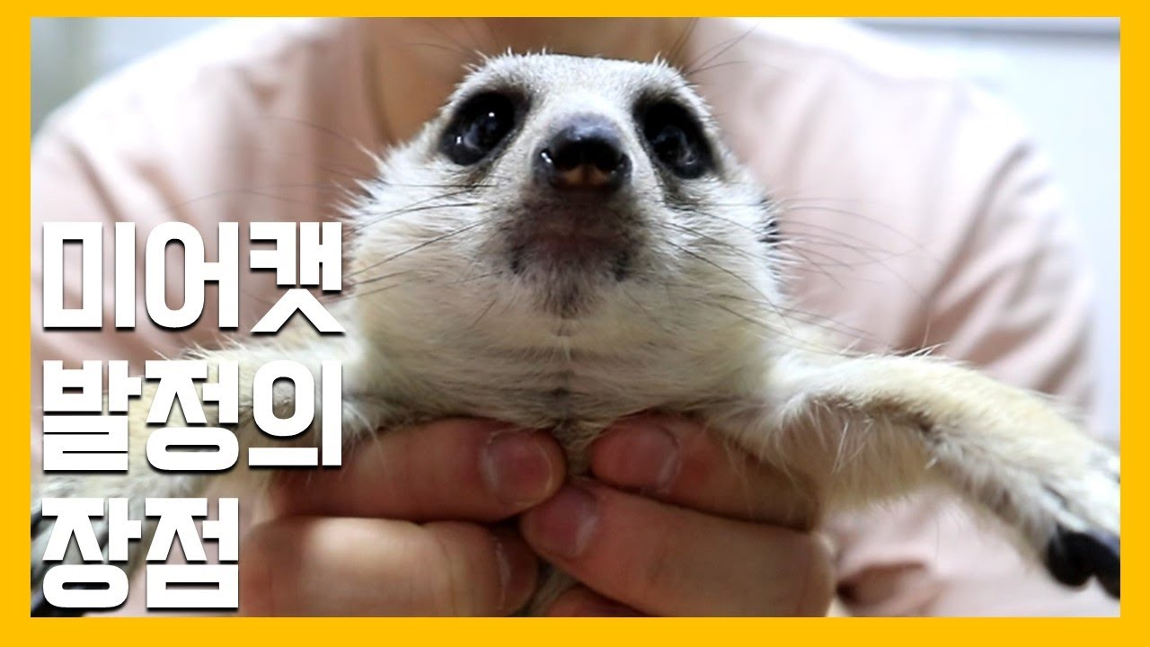 미어캣 발정의 장점 [냥이아빠]