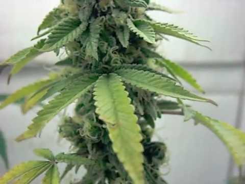 Growing Marijuana 8 weeks into Flower, OG Kush, Sour Diesel, Mr Nice Guy CFL GROW