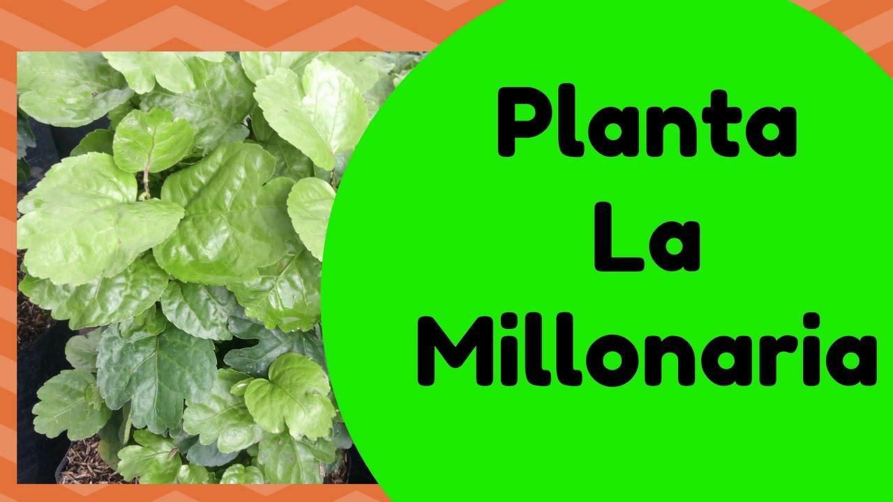 Como cuidar tu planta de millonaria youtube for Como se planta la lavanda