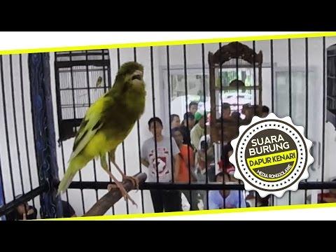 Download Lagu BRANDY WATCH : Dapur Kenari - Aksi TOFU Kenari Kalitan Gacor Ngedur Di CANARY BATTLE EXHIBITION