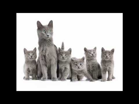 Nebelung Cat and Kittens   History of the Nebelung Cat Breed