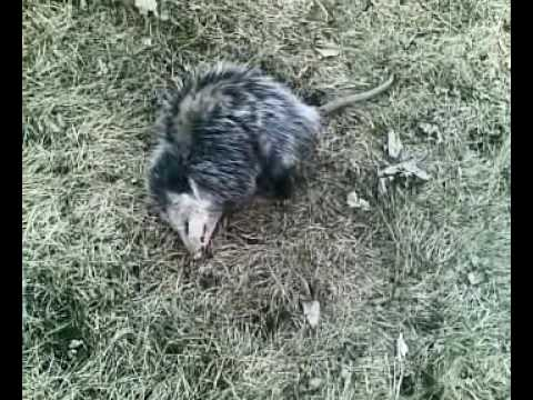 opossum playing dead #3