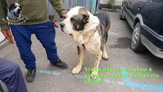 Собачий рынок в Алмате. Новые аксессуары для моих волкодавов.