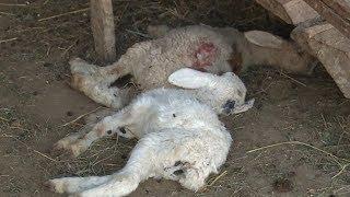 Những đàn cừu chờ chết ở vùng tâm hạn của Ninh Thuận | VTV24