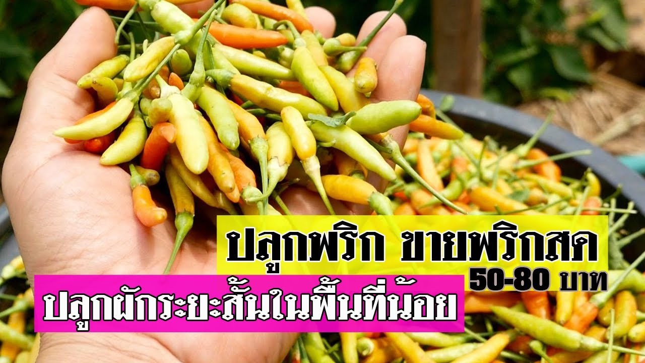 ปลูกพริก ขายพริกสด 50-80 บาท การเกษตรปลูกพริกระยะสั้นขาย ใช้พื้นที่น้อย รายได้ดี
