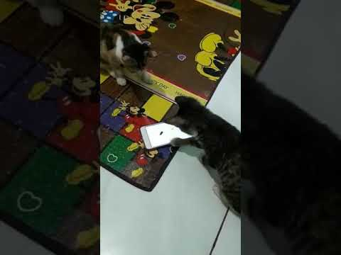 kucing pintar/ smart cats