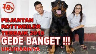 GEDE BANGET PEJANTAN ROTTWEILER TERBAIK 2018